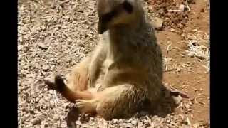 Смешные Животные Забавный Сурикат