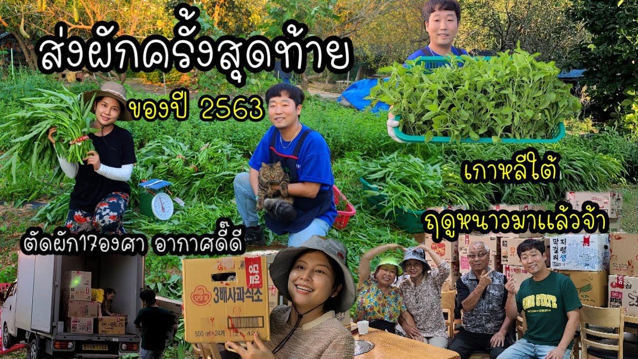EP.409 | ส่งผักครั้งสุดท้ายของปีนี้2563 (ส่งหมดสวน) เกาหลีใต้หนาวเเล้วจ้า