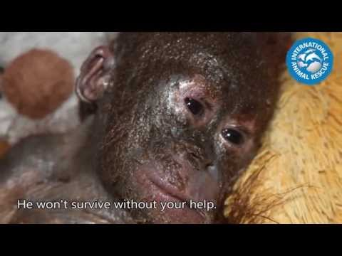 Baby orangutan is rushed to rescue centre in shocking state