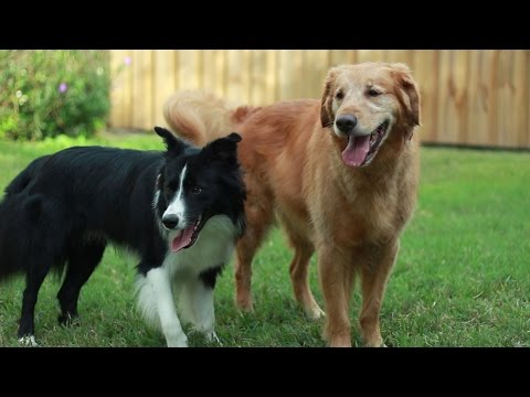 Draco 10 month old Border collie and Ben the Golden Retriever playing