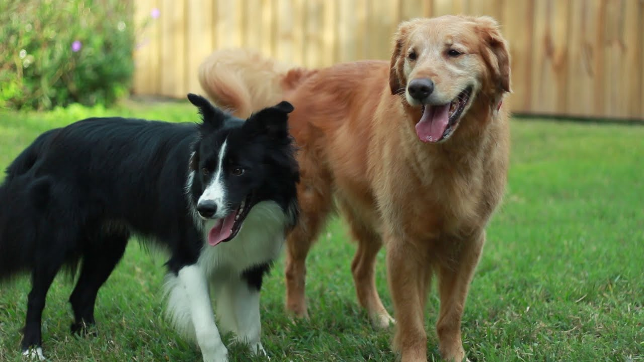 draco 10 month old border collie and ben the golden retriever