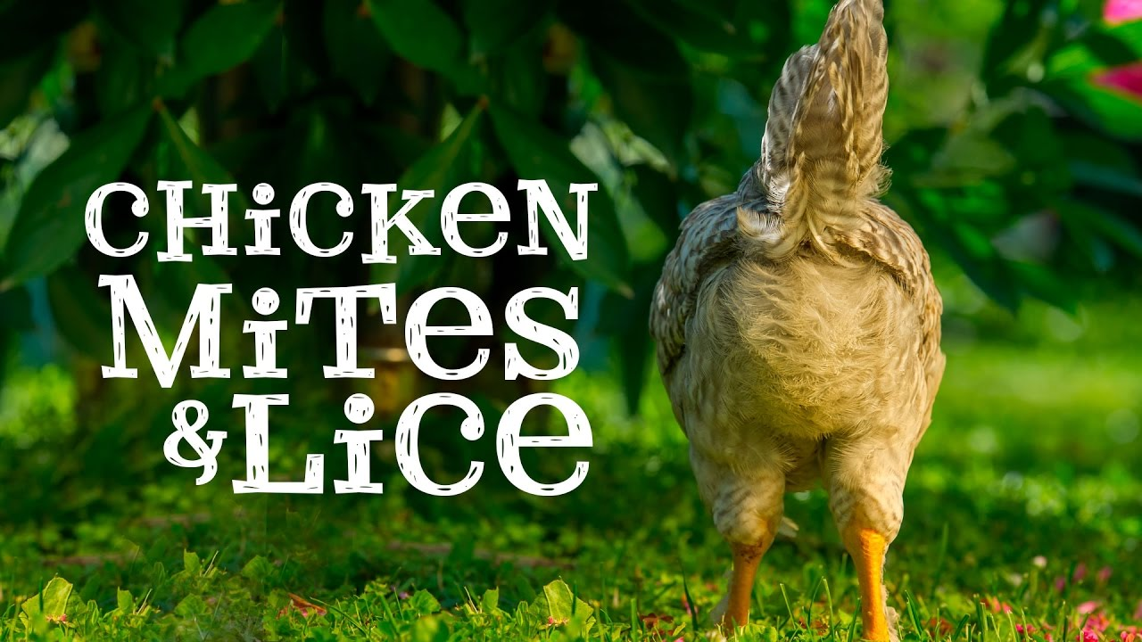 How To Treat Lice and Mites On My Chickens