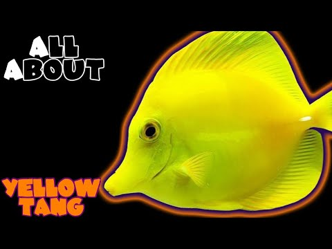 All About The Yellow Tang