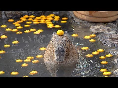Capybara with mandarin orange on head in the open-air bath☆みかんを頭にのせるカピバラ 伊豆シャボテン動物公園【元祖カピバラの露天風呂】