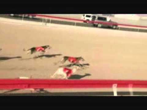c5f78a05e سباق الكلاب السلوقيه العربيه سويحان 2011 - YouTube