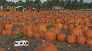 Connecticut pumpkin farm succeeding despite drought
