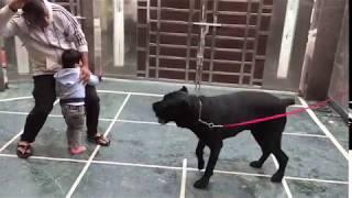 Cane Corso : Italian Mastiff : Guardian Dogs India