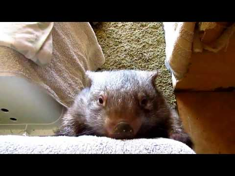 Jaxzyn our wombat village idiot at the sanctuary!