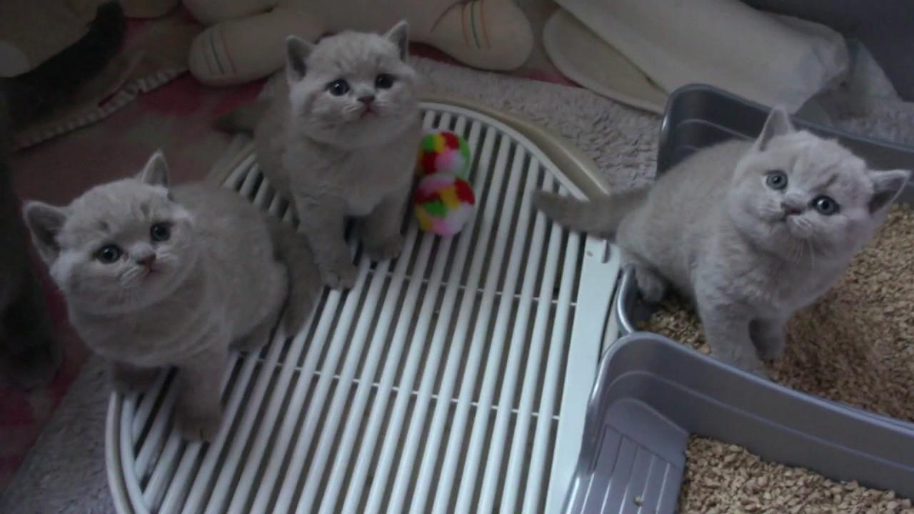 Maluszki Fifi British Shorthair Cattery