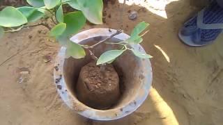 Grow orange fruit plant care& tips(January 2017)