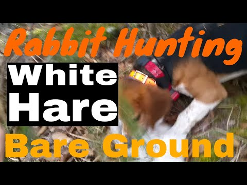 Hunting WHITE Snowshoe Hare On BARE Ground With Beagles In NH