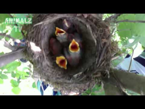 Cutest Baby  Sparrow Birds Asking For Food - Thinking Mom is There