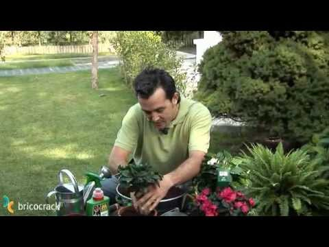 C mo cuidar las hortensias compo jardiner a doovi - Cuando podar las hortensias ...