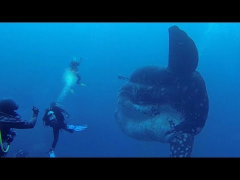 DIVERS ENCOUNTER GIANT FISH
