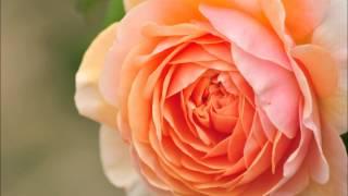 愛の喜び/クラシック(クライスラー)の動画