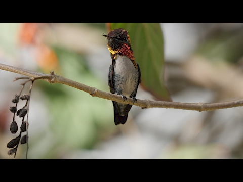 Male Bee Hummingbird