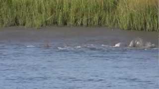 kiawah river dolphins