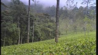 Teefilm SCHATZ DER WELT - Die Teepflanze