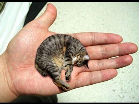 Самый маленький кот в мире «Мистер Пибблз»