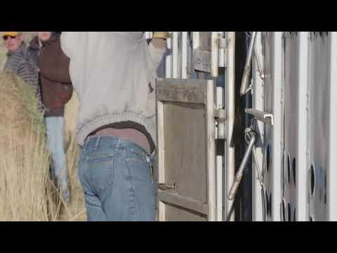 Wind River Bison Release