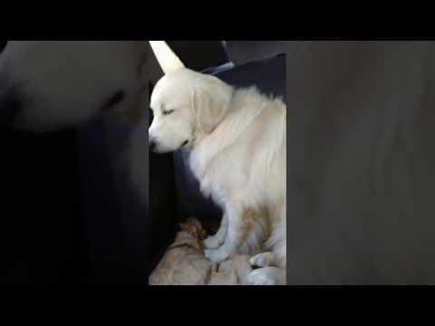 Топ-11: Самые глупые породы собак