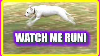 Watch Me Run! Pit Bull Boxer Mix Name Shay Shay