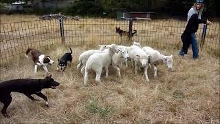 Herding Dog Training Mar 2nd. 2014