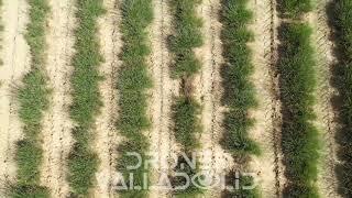 Cultivos de Lavanda - Drones Valladolid