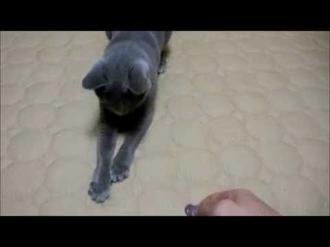 """Russian Blue cats story """"My cat plays with laser pointer"""""""