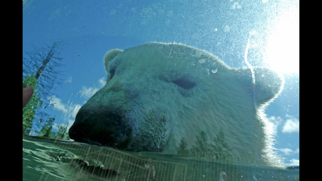 Souvent Zoo sauvage de St-Félicien, Quebec, Canada, Ours blancs polaire  ND18