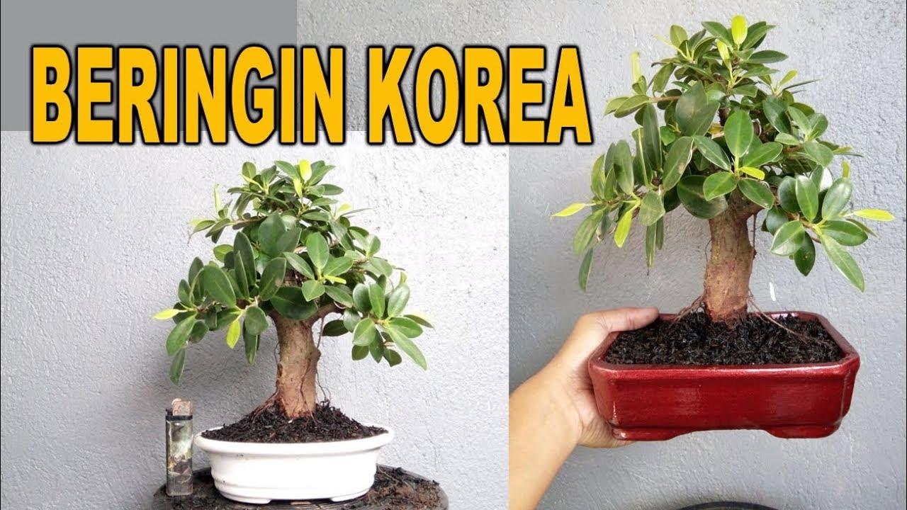 Bonsai Beringin Korea Dua Kali Ganti Pot