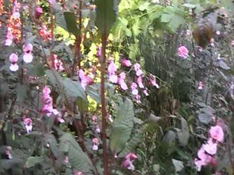 Abejas recolectando polen de flores de YouTube · Duración:  1 minutos 1 segundos  · 82 visualizaciones · cargado el 15.10.2016 · cargado por Paisajes Naturales del Mundo