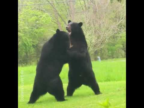Gary Cee - Front-Yard Bear Brawl in Frankford NJ