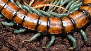 3 centipedes. 3 feeds. Scolopendra sp.