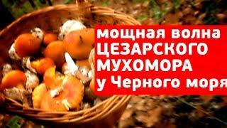 Цезарский мухомор - мощный урожай вкуснейшего гриба под Геленджиком