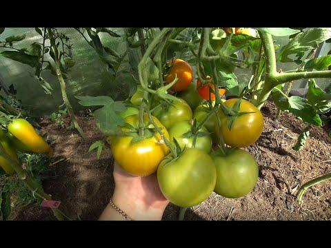 Самые урожайные сорта томатов | высокоурожайные | суперобильные | урожайные | томатов | лучшие | сорта | обзор | много | кусту | тома