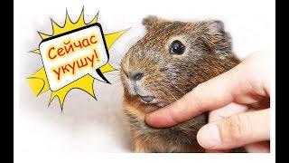 Уход и содержание морских свинок / How to care about guinea pigs
