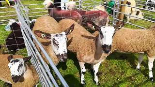 REETH SHOW 2018 / POULTRY MARQUEE / LIVESTOCK / SHEEPDOG TRIALS AND NORTH YORKSHIRE DALE VIEWS
