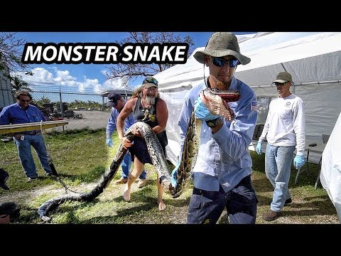 Record Giant Python in Florida - Python Hunters!