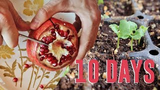 Sprouting Pomegranate Seeds - 10 Days from Fruit to Germination!