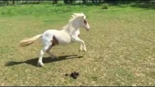 Tovero Miniature Stallion