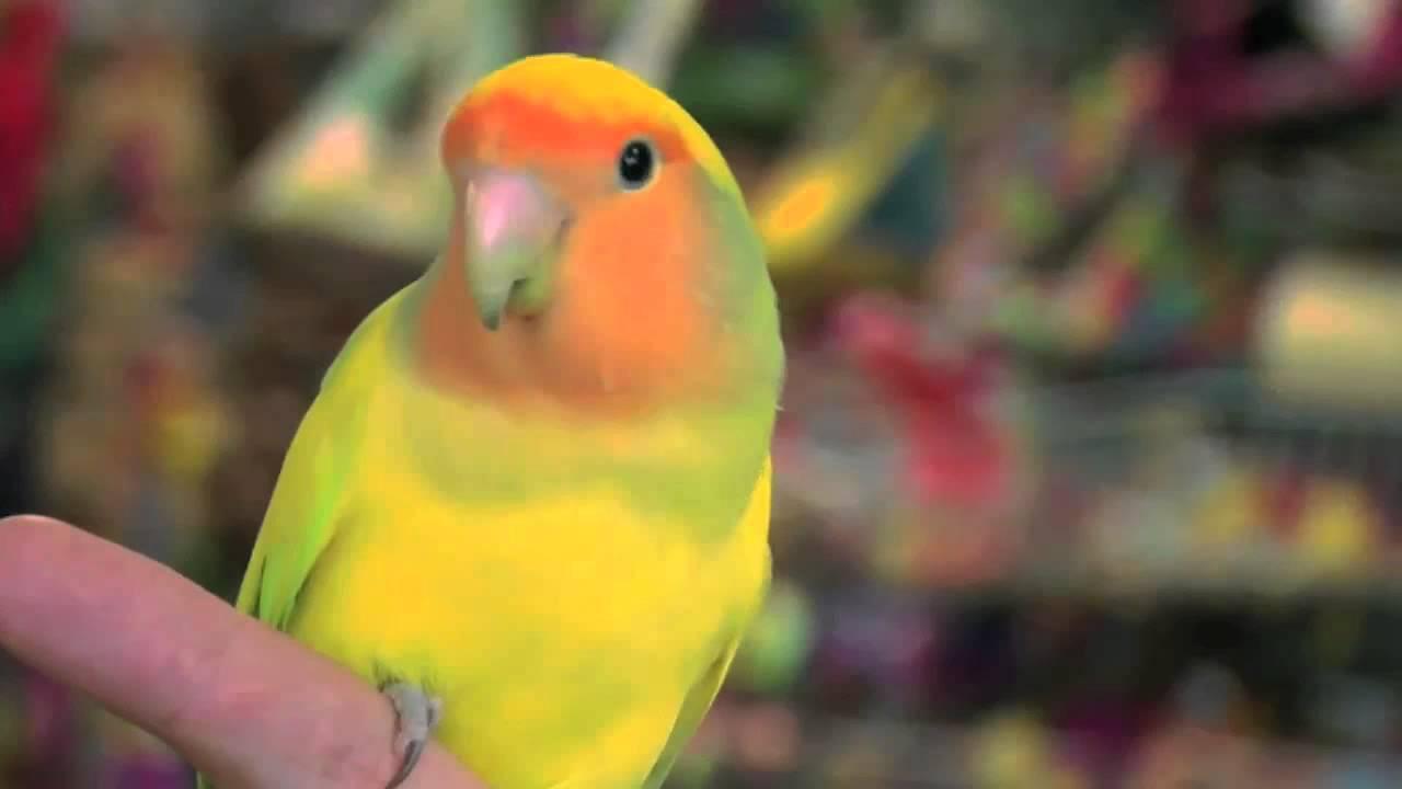 exotic birds love birds youtube
