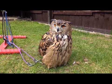 eagle owl first steps in manning
