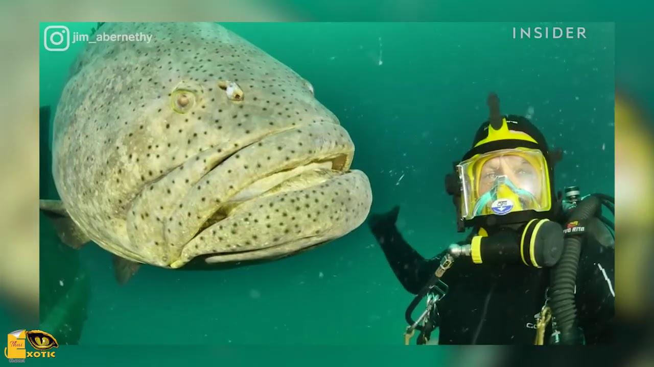 น่าทึ่ง..!! ปลาหมอยักษ์ อายุยืนกว่า 30 ปี และสามารถ เปลี่ยนเพศได้