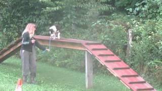 Australian Shepherd Puppy 2 Weeks Training