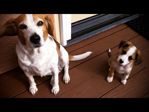 Cute Puppies Playing With Their Parents 🐾 [Funny Pets]
