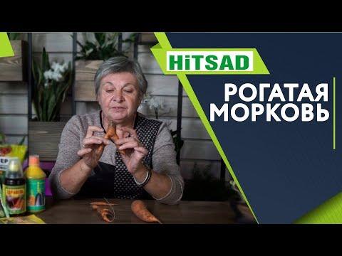 Что Делать если Морковь Рогатая ✔️ Кривая морковь. Почему ‼️ Советы от Хитсад ТВ хитсад медиа