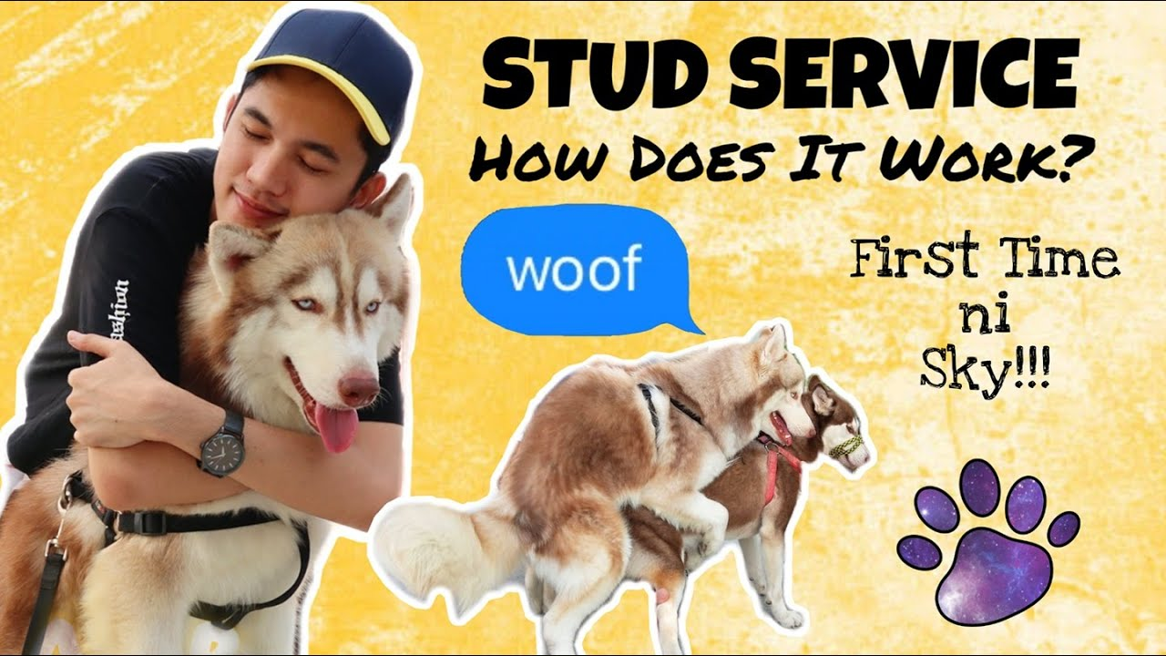 SIBERIAN HUSKY STUD SERVICE | SECOND SESSION NI SKY | VLOG
