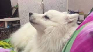 Собака поёт   смешная собака