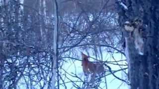 Охота на куницу с Карело-Финской Лайкой